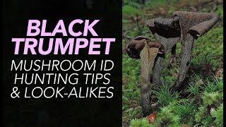 Download Black Trumpet Mushroom ID, Hunting Tips, & Look-Alikes Video