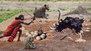 Download Interesting Ostrich Protect Eggs & Baby From Monkey, Hyena, Human Stealing - Prey Escapes Predato Video