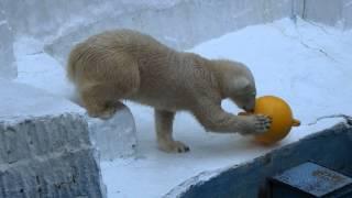 Download 鳴いてたけど、おもちゃをもらってもう一遊び、のイッちゃん(Шилка)    天王寺動物園のホッキョクグマ Video