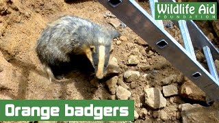 Download Right This Minute: A badger rescue! Video