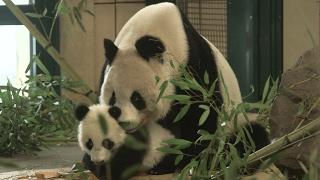 Download Panda-Zwillinge sind ein halbes Jahr alt Video