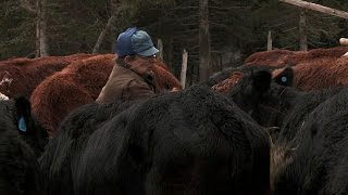 Download Feeding the Cows | Alaska: The Last Frontier Video