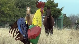 Download Scaring Horses In Pasture With A Giant Texas Size Rooster Part 2 - How To Abuse Your Horses Video