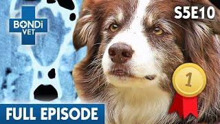 Download 🐷 Picking A Piglet | S05E10 | Bondi Vet Video