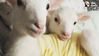 Download Rescued Lambs Dance Together When They're Happy | The Dodo Video