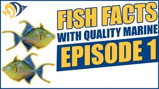 Download Fish Facts with Quality Marine, Episode 1 - Reef Safe Triggerfish Video