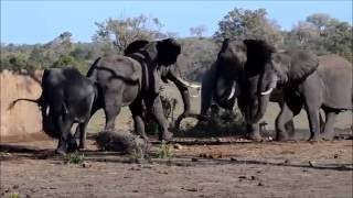 Download Mating Elephants at Talamati Waterhole Video