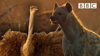 Download Zalika the Hyena FIGHTS an Ostrich   Serengeti - BBC Video