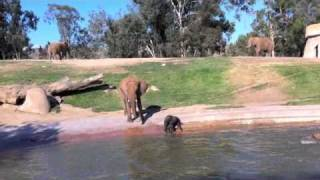 Download Baby Elephant falls, gets upset, goes with mama, comes back Video
