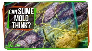 Download Slime Mold: A Brainless Blob that Seems Smart Video