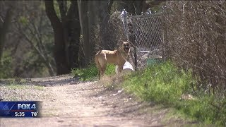 Download Dallas seeks input on potential new dangerous dog rules Video