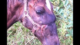 Download Don't Leave Halters On Horses - Warning Danger Horses Pay - How Many Times Video