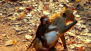 Download Baby monkey Julina cry & cry seizure angry mom stop milk,she is so hungry, Video