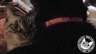 Download 【Jean & Pont 829】マンションの外壁工事で色めき立つ保護猫たち 2017/11/24 保護猫育成記録 Jean & Pont Video