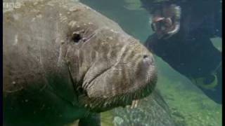 Download Attenborough: Bad Breath From the Gentle Sea Cow - Life of Mammals - BBC Video