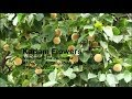 Download Kadam Flowers, India Video