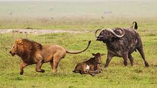 Download LION VS BUFFALO | Mother Buffalo Protect Her Baby From Lion Hunting To The Last Breath Video