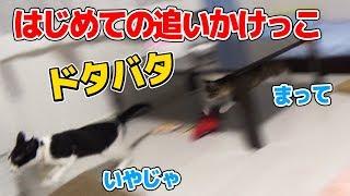 Download 先住子猫と新入り子猫はじめての追いかけっこ:おつたま5日目 Video