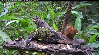 Download Spot-crowned Barbet on the Panama Fruit Feeder Cam at Canopy Lodge, January 17 Video