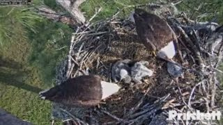 Download Southwest Florida Eagles - E8 Bonked Fiercely! Video