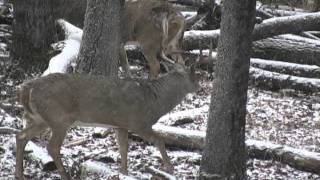 Download Giant Saskatchewan whitetail buck comes in. Video