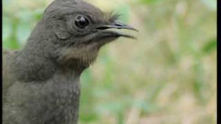 Download Attenborough: the amazing Lyre Bird sings like a chainsaw! Now in high quality | BBC Earth Video