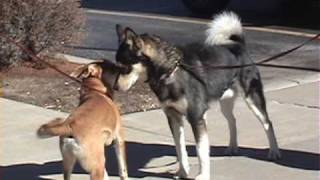 Download One Great Snark! (slow motion dog to dog meeting) Video