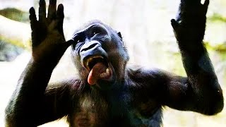 Download GORILLAS Pranking HUMANS 2017 [Funny Pets] Video