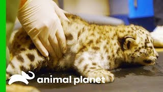 Download Snow Leopard Cub Starts Physical Therapy to Help Her Learn to Walk Video