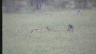 Download Jackal Tries To Get a Baboon 04-23-07 5.10 pm CAT Video