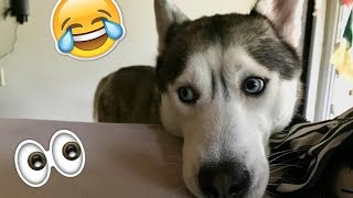 Download Things All Husky Owners Would Understand! Video