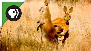 Download The Sneaky Mating Strategy of Red Kangaroos Video