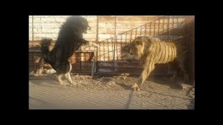 Download When dogs come face to face with wild animals!!! Video