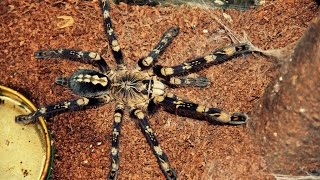 Download Top 10 most beautiful Tarantulas Video