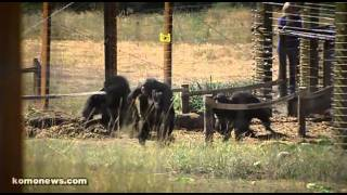 Download Chimps released after almost 40 years of medical testing. Video