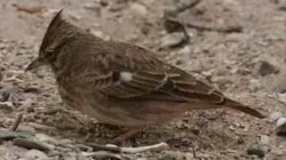 Download Fantastische Vogelstimmen Video
