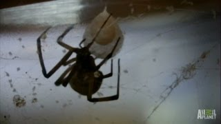 Download Brown Widow Spiders Invade | Infested! Video