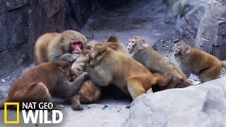 Download Bataille entre macaques Video