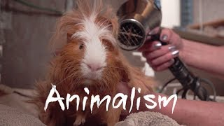 Download The Largest Guinea Pig Rescue In the World | Animalism Video