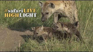 Download Newly Discovered Hyena Den with Cubs Video