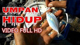 Download Cara Memasang Umpan ikan hidup supaya cepat disambar sama ikan target Video