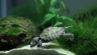 Download Planted Community Turtle Tank Video