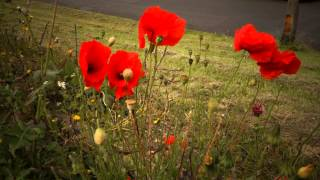 Download Poppies in the wind Video