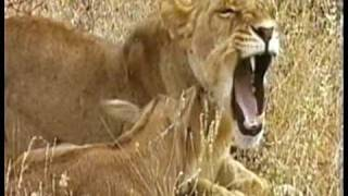 Download MUST WATCH: A Lioness Adopts a baby antelope. A short documentary that will open your eyes. Video