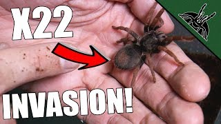 Download UNBOXING HUGE AMOUNT OF TARANTULAS! Video