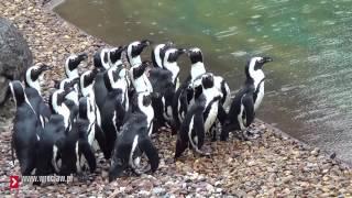 Download Pingwiny w Oceanarium we Wrocławiu Video
