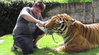 Download Tigers swimming and jumping - Tigres nadando e pulando. Video