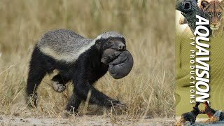 Download Honey Badger mom, carrying baby to new den site. Video