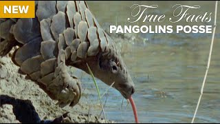Download True Facts : Pangolins Posse Video