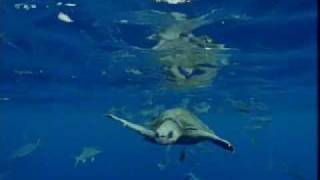 Download Great white shark territory - migration of ocean animals - seals, fish and turtles - BBC Video